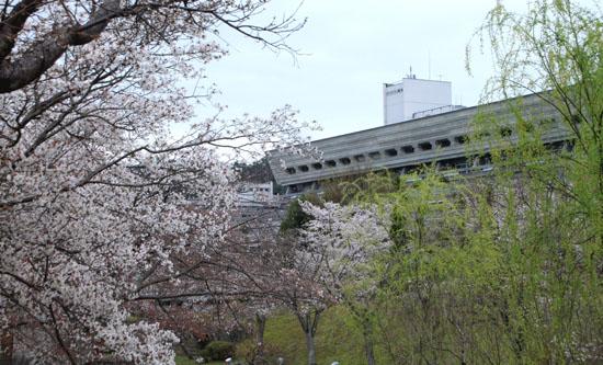16桜だより33 宝が池_e0048413_18552110.jpg