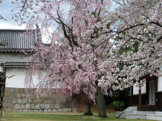 16桜だより34 二条城_e0048413_20481638.jpg