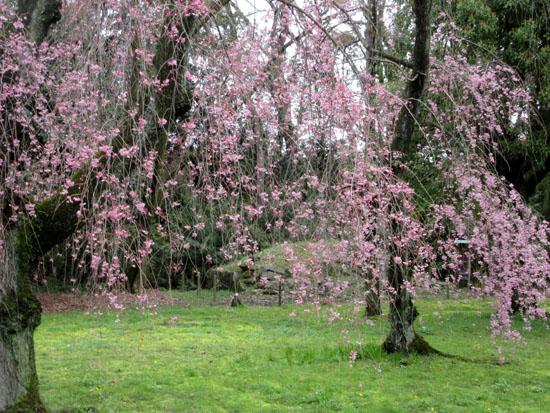 16桜だより34 二条城_e0048413_20483356.jpg
