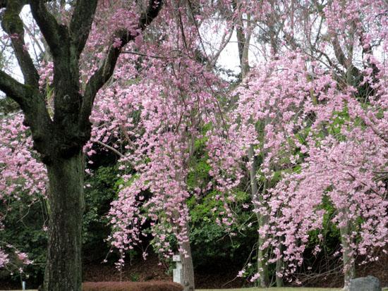 16桜だより34 二条城_e0048413_2048463.jpg
