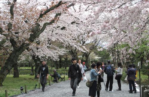 16桜だより34 二条城_e0048413_20491986.jpg