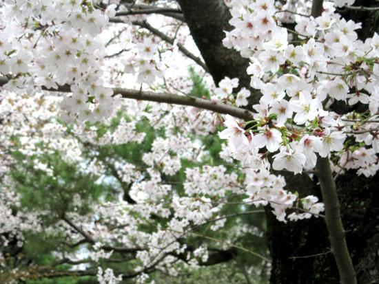 16桜だより34 二条城_e0048413_2049317.jpg