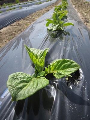 ぐんぐん伸びるジャガイモの芽_d0120421_8373919.jpg