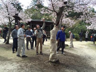 宮島さくら・もみじの会 開花状況調査_f0229523_1715768.jpg