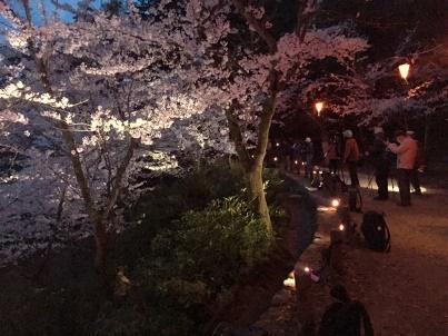 宮島さくら・もみじの会 開花状況調査_f0229523_1721273.jpg