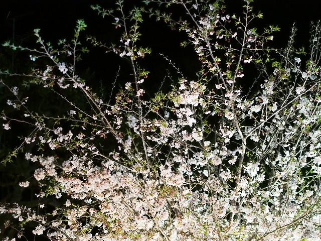夜桜_d0052327_2365154.jpg