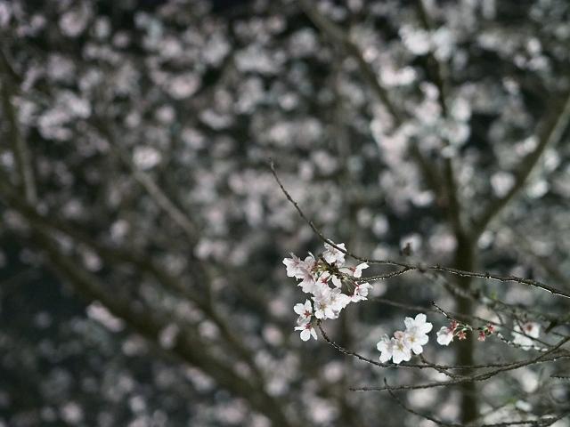 夜桜_d0052327_2374925.jpg
