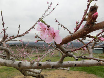 新府の桃・穴山の桜_f0019247_222712100.jpg