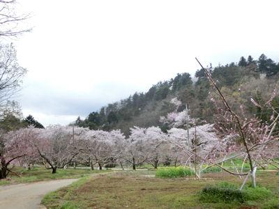 新府の桃・穴山の桜_f0019247_22292463.jpg