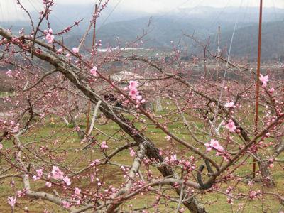 新府の桃・穴山の桜_f0019247_22315222.jpg