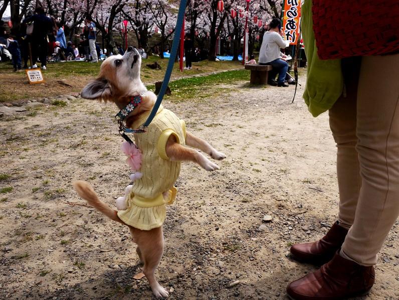 桜咲く和歌山公園にて_b0093754_20313878.jpg