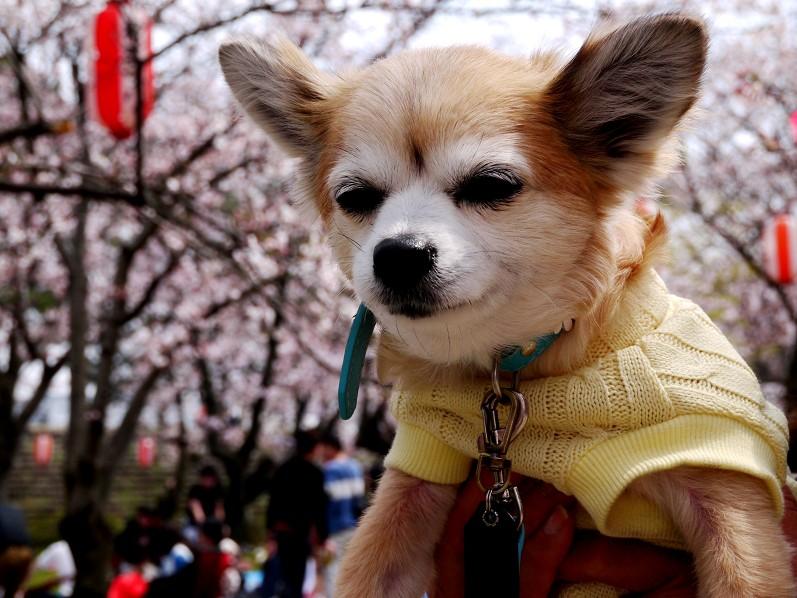 桜咲く和歌山公園にて_b0093754_20321567.jpg