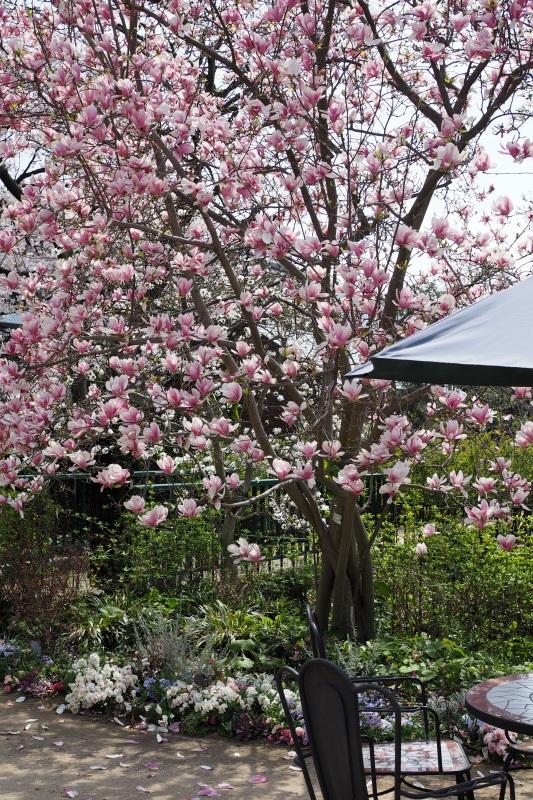 マグノリアの咲く庭_a0292060_17115076.jpg