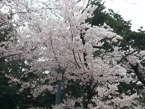 桜_c0341260_14333597.jpg