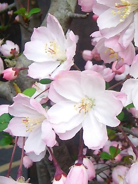 桜咲く ザ・リッツ・カールトン東京 ひのきざかで ミニマリアのお祝いです。。。.♡*† *・。・。+ _a0053662_16485936.jpg