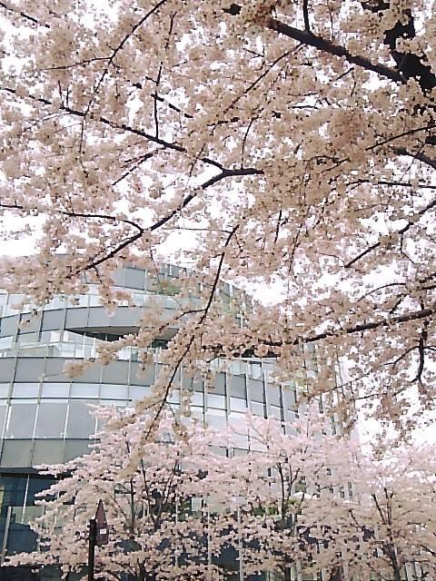 桜咲く ザ・リッツ・カールトン東京 ひのきざかで ミニマリアのお祝いです。。。.♡*† *・。・。+ _a0053662_16491739.jpg
