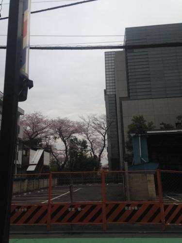桜満開_b0219170_16464350.jpeg