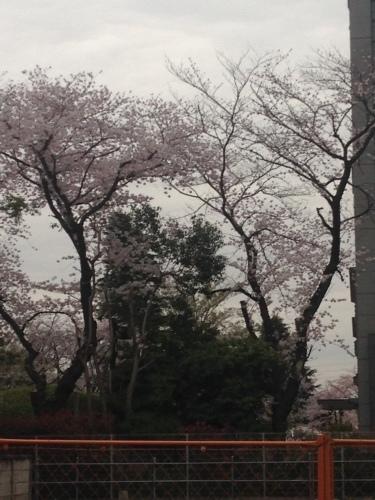 桜満開_b0219170_16471251.jpeg