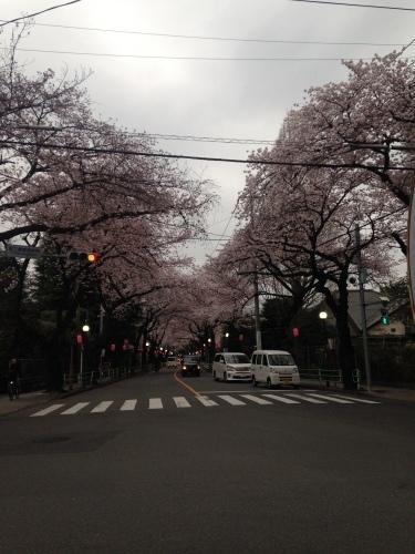 桜満開_b0219170_16481806.jpeg