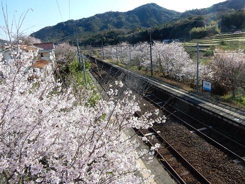 ホームの桜が満開だ_e0175370_21513490.jpg