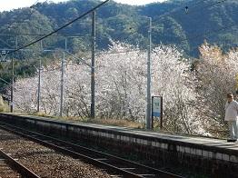 ホームの桜が満開だ_e0175370_21542682.jpg