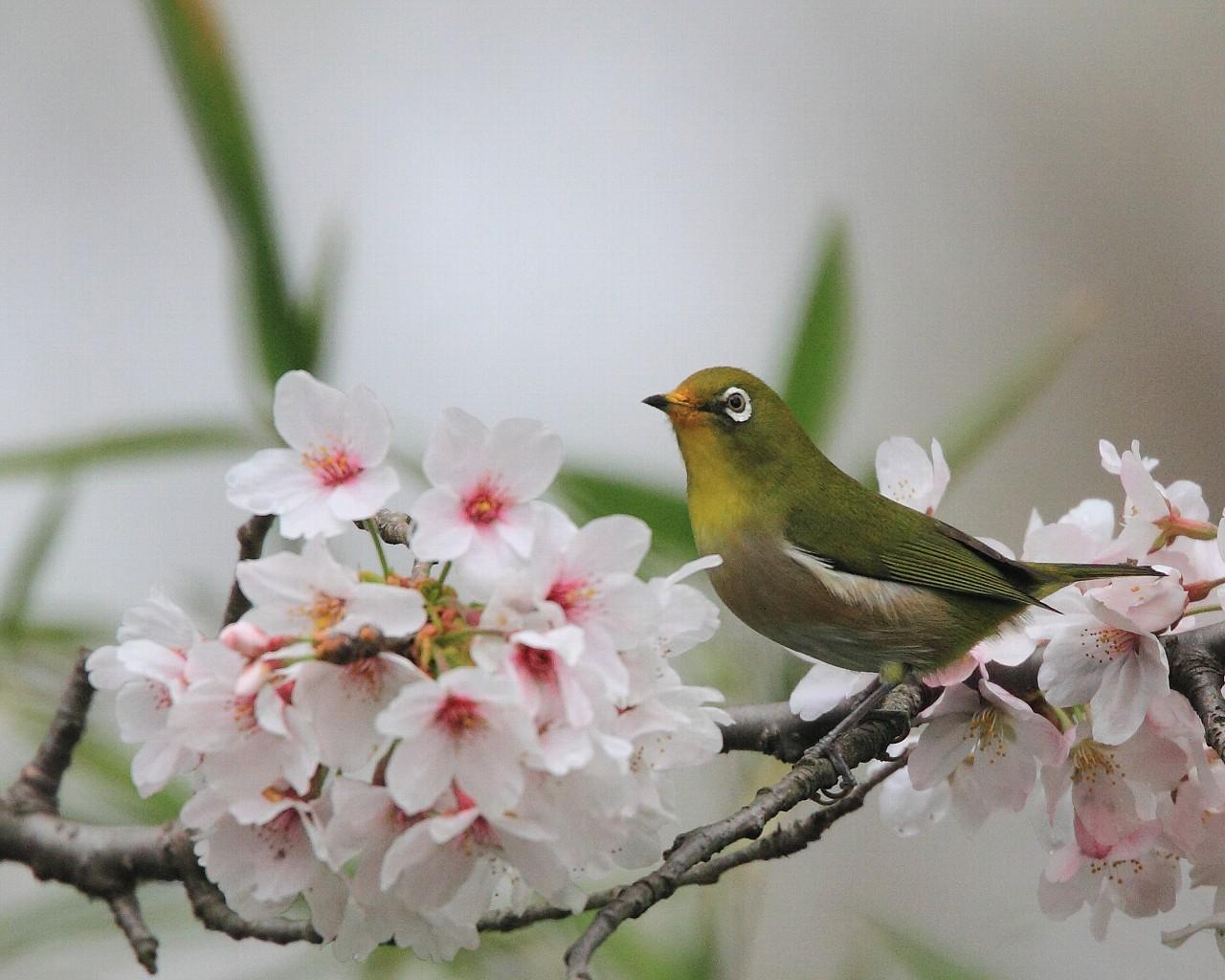 ホームページ更新(地元の桜とメジロ)_f0105570_1894626.jpg