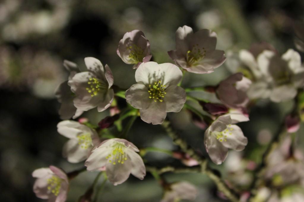 三渓園の夜桜_c0310571_19450201.jpg