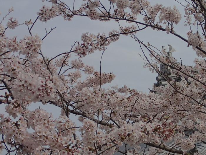サクラと浜松城。_c0197578_1020454.jpg