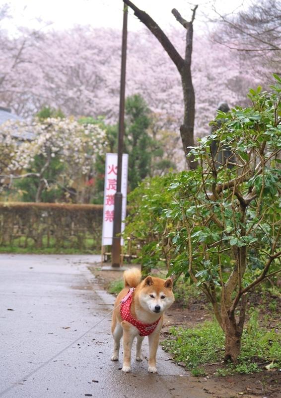 桜_a0126590_22284189.jpg