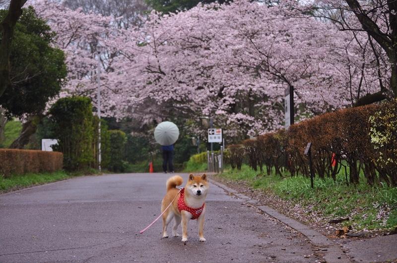 桜_a0126590_22284631.jpg