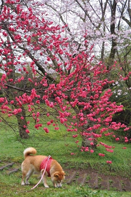 桜_a0126590_22285297.jpg