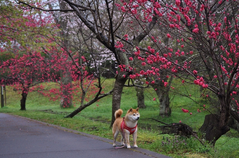 桜_a0126590_22285806.jpg