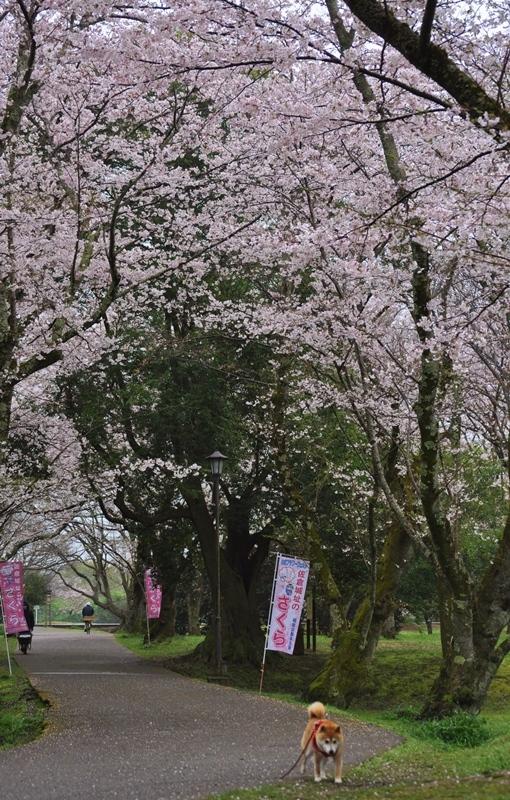 桜_a0126590_22290454.jpg