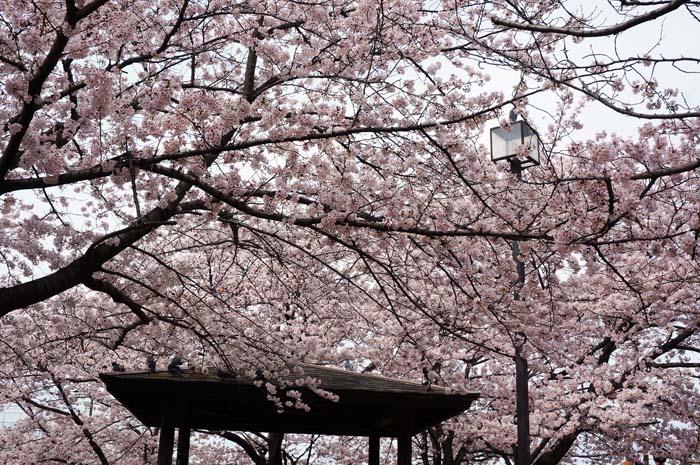 桜が満開_e0016894_23335466.jpg