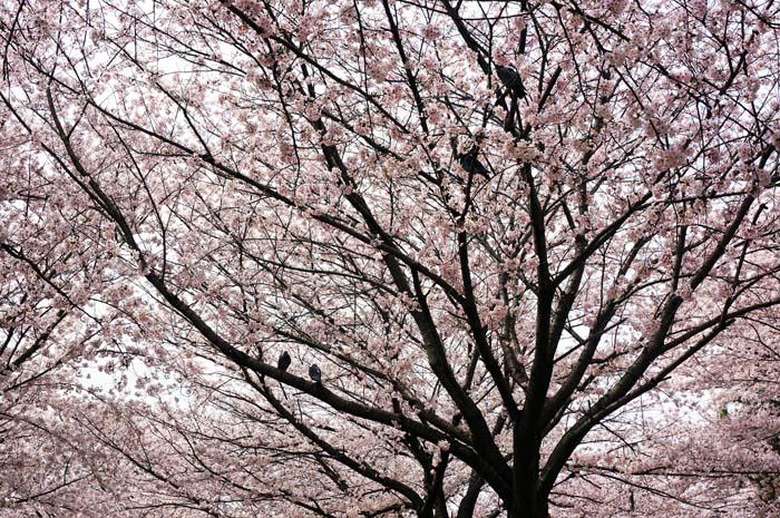 桜が満開_e0016894_23342054.jpg