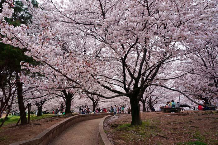 桜が満開_e0016894_23344567.jpg