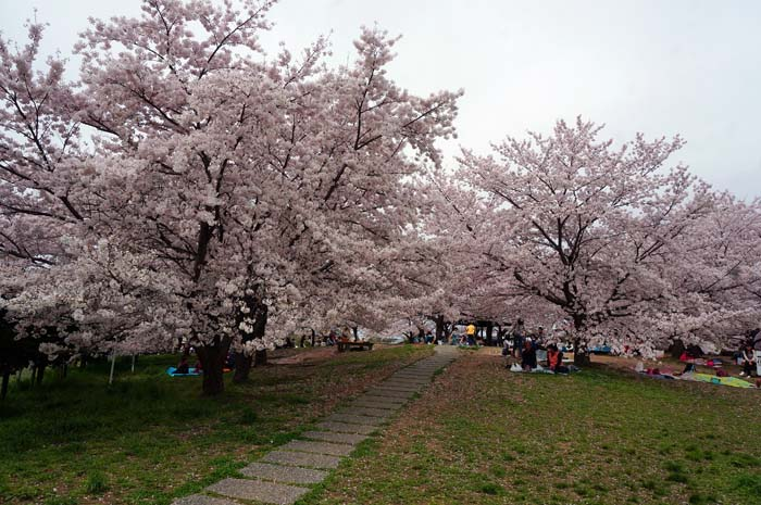 桜が満開_e0016894_2335132.jpg