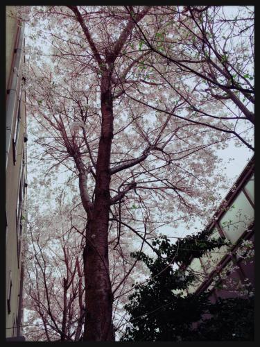 見納め桜★_e0123401_18162113.jpg