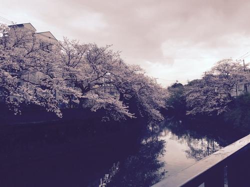 桜満開( *´艸`)_c0294909_18555373.jpg