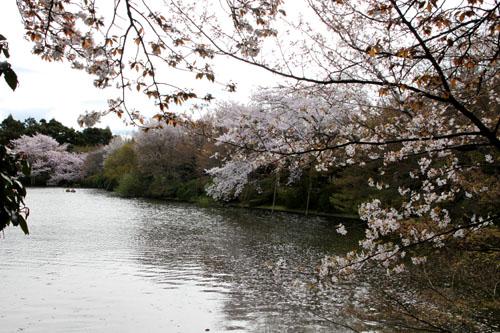 16 桜だより38 龍安寺_e0048413_21245990.jpg