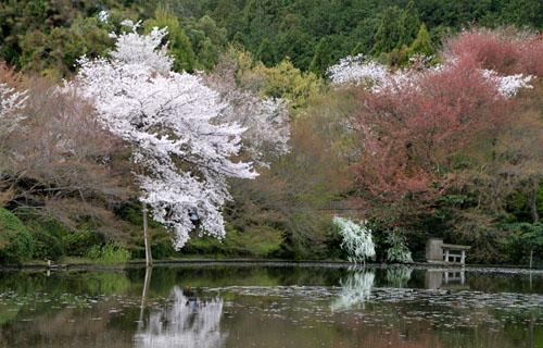 16 桜だより38 龍安寺_e0048413_21253810.jpg