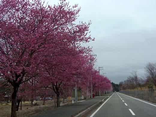 神代桜_d0127634_16214597.jpg