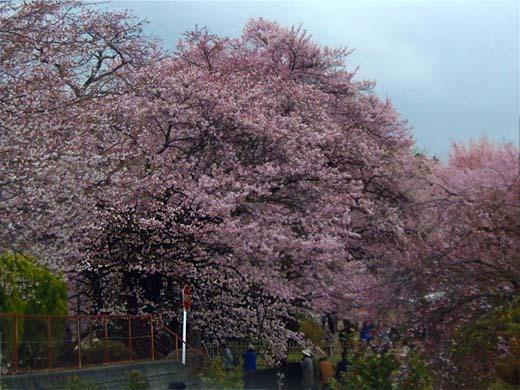 神代桜_d0127634_16221577.jpg