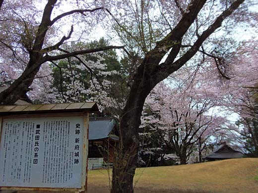 神代桜_d0127634_16230937.jpg