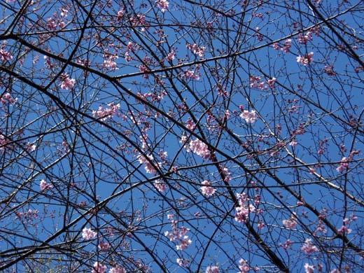 神代桜_d0127634_16243952.jpg