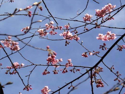 神代桜_d0127634_16245771.jpg