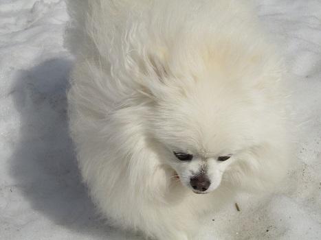 雪と桜_b0177436_14104835.jpg