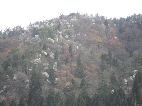 雪と桜_b0177436_14273068.jpg