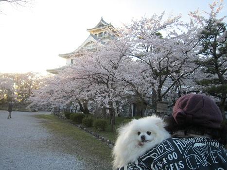 雪と桜_b0177436_1434490.jpg