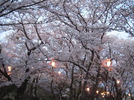 雪と桜_b0177436_1434532.jpg